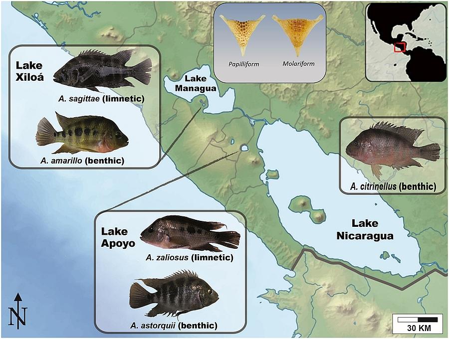 Map of Nicaragua and sympatrically-speciating Midas cichlids