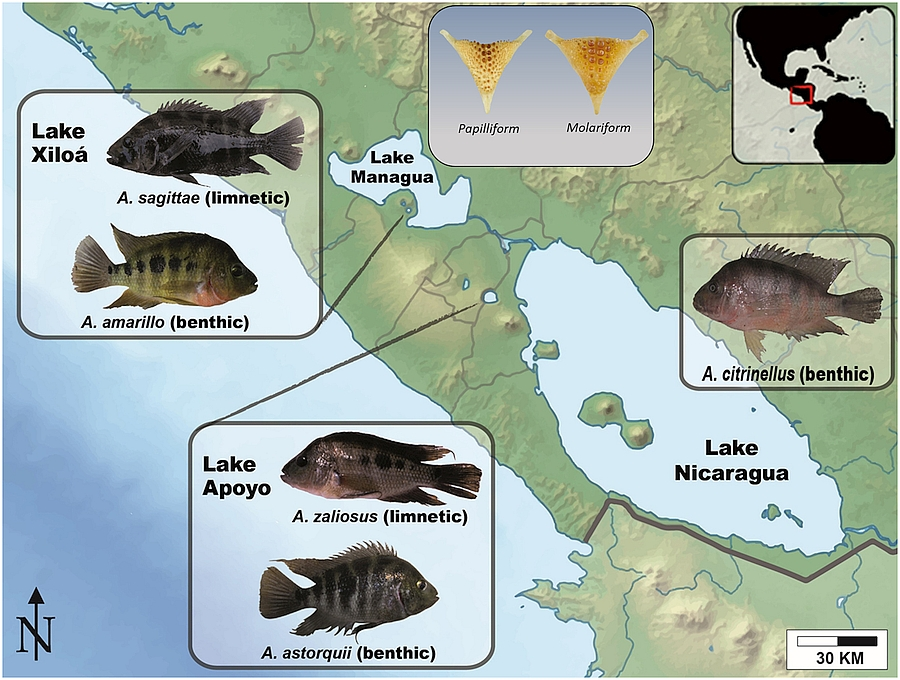 Map of Nicaragua and sympatrically-speciating Midas cichlids